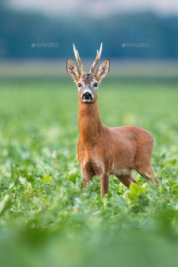 Alert roe deer buck standing on field in summer nature - Stock Photo - Images