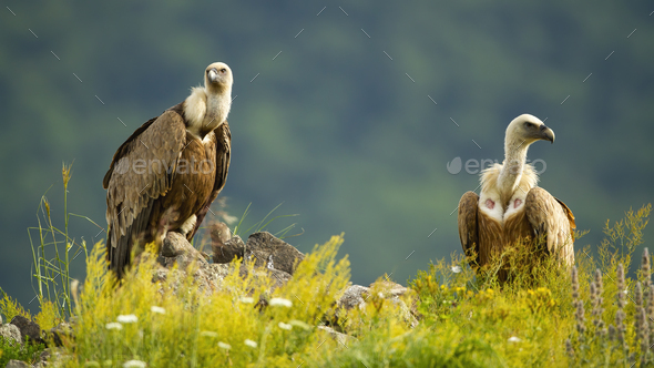 Two majestic griffon vultures sitting on rocks in summer - Stock Photo - Images
