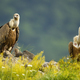 Two majestic griffon vultures sitting on rocks in summer - PhotoDune Item for Sale