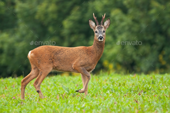 Roe deer male standing on meadow in summertime nature - Stock Photo - Images