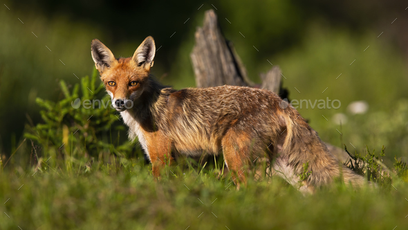 Calm red fox standing on meadow in summer nature - Stock Photo - Images