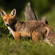 Calm red fox standing on meadow in summer nature - PhotoDune Item for Sale