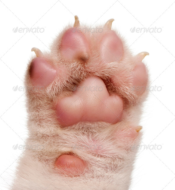 Close-up of puppy's paw, 4 weeks old, in front of white background - Stock Photo - Images