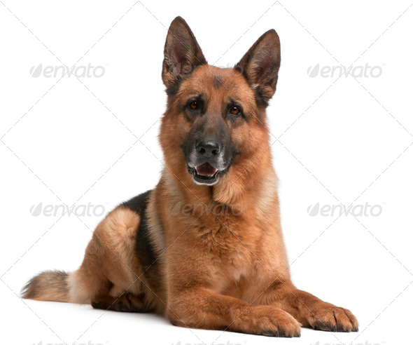 German Shepherd, 5 years old, in front of white background - Stock Photo - Images