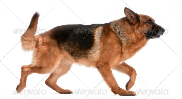 German Shepherd, 5 years old, walking in front of white background - Stock Photo - Images
