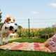 Adorable baby girl with mother and running beagle family dog on colorful blanket on green grass - PhotoDune Item for Sale
