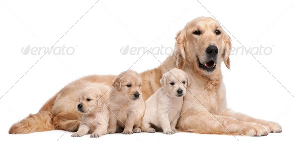 Golden Retriever mother, 5 years old, and her puppies, 4 weeks old, in front of white background - Stock Photo - Images