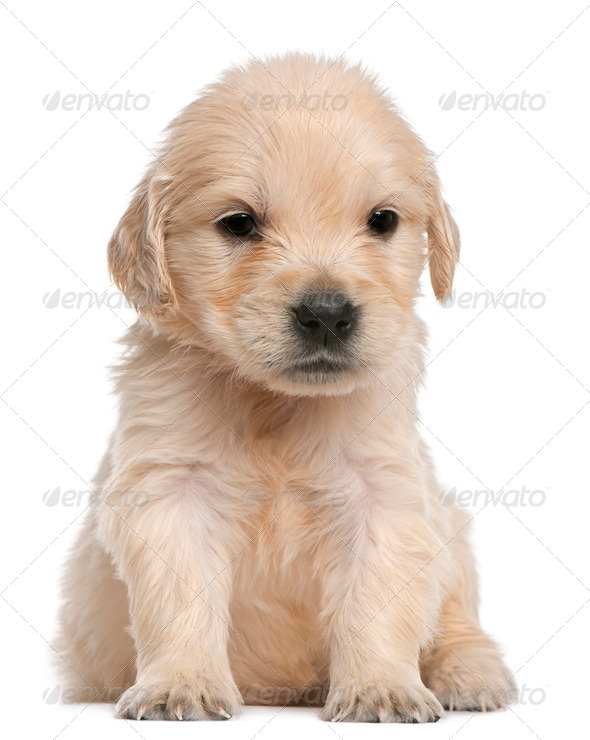 Golden Retriever puppy, 4 weeks old, sitting in front of white background - Stock Photo - Images