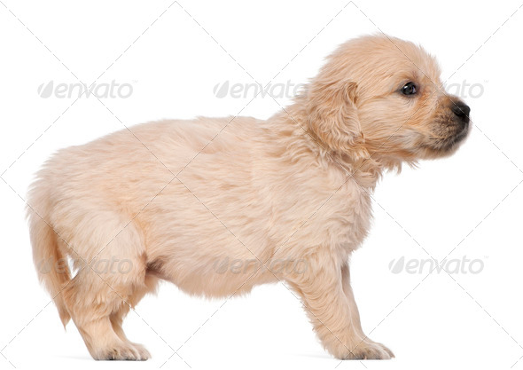 Golden Retriever puppy, 4 weeks old, in front of white background - Stock Photo - Images