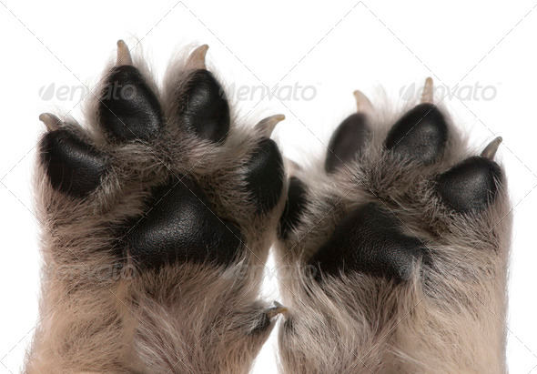 Close-up of puppy's paws, 4 weeks old, in front of white background - Stock Photo - Images