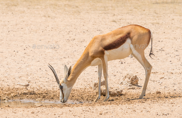 A Female Springbok at a Waterhole - Stock Photo - Images