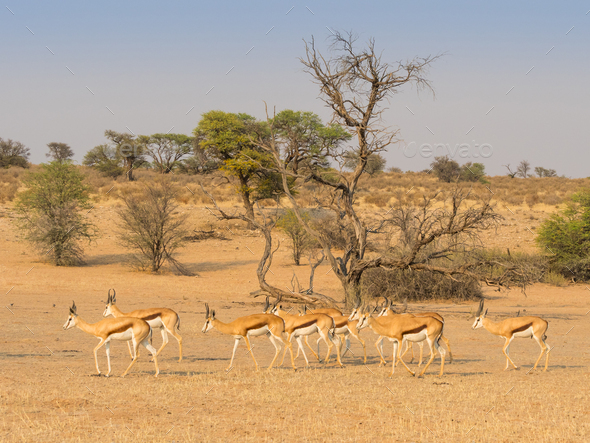 Bachelor Herd of Springbok - Stock Photo - Images