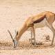 A Female Springbok at a Waterhole - PhotoDune Item for Sale