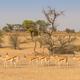 Bachelor Herd of Springbok - PhotoDune Item for Sale