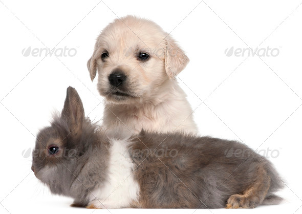 Golden Retriever puppy, 4 weeks old, and a rabbit in front of white background - Stock Photo - Images