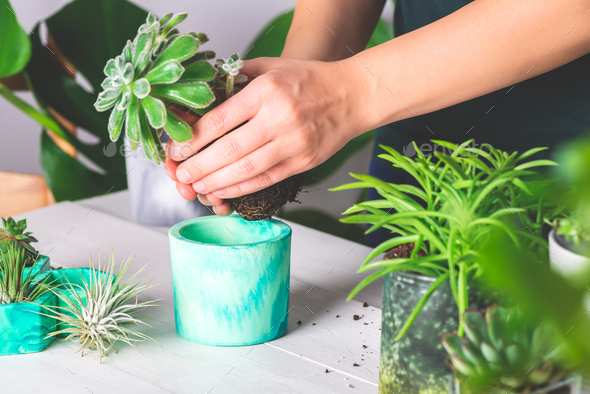 Woman is planting succulent plant in the new planter pot - Stock Photo - Images