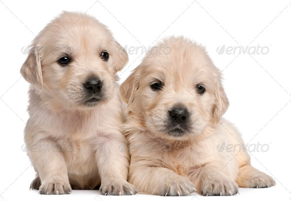 Golden Retriever puppies, 4 weeks old, in front of white background - Stock Photo - Images