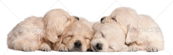 Golden Retriever puppies, 4 weeks old, asleep in front of white background - Stock Photo - Images