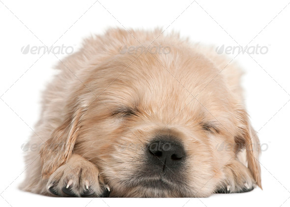 Golden Retriever puppy, 4 weeks old, asleep in front of white background - Stock Photo - Images