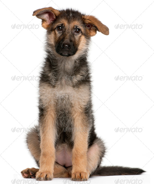 German Shepherd puppy, 4 months old, sitting in front of white background - Stock Photo - Images