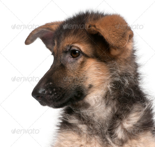 Close-up of German Shepherd puppy, 4 months old, in front of white background - Stock Photo - Images