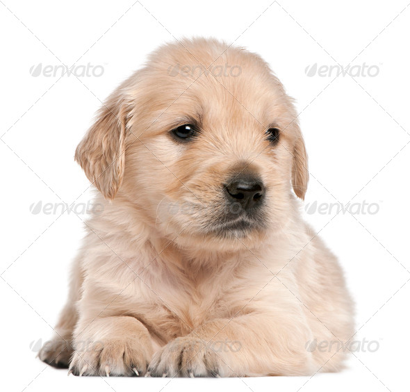 Golden Retriever puppy, 4 weeks old, lying in front of white background - Stock Photo - Images
