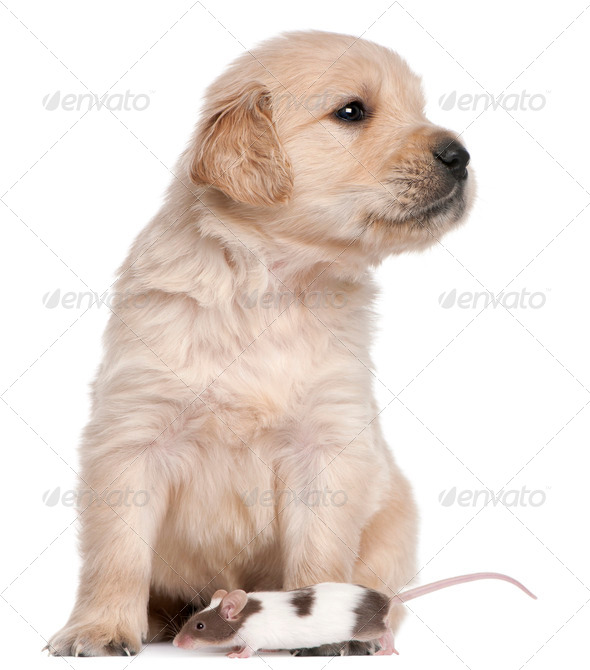 Golden Retriever puppy, 4 weeks old, and a mouse in front of white background - Stock Photo - Images