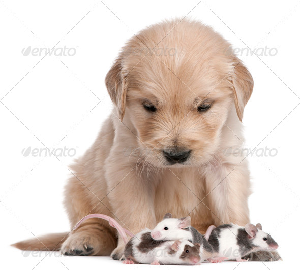 Golden Retriever puppy, 4 weeks old, and mice in front of white background - Stock Photo - Images