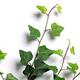 Ivy twigs - PhotoDune Item for Sale