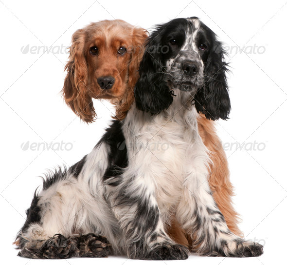 Two English Cocker Spaniels, 2 years old, in front of white background - Stock Photo - Images