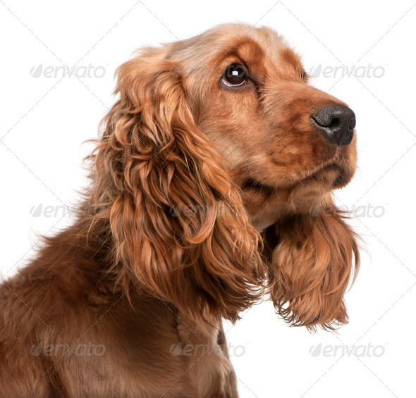 English Cocker Spaniel, 2 years old, in front of white background - Stock Photo - Images