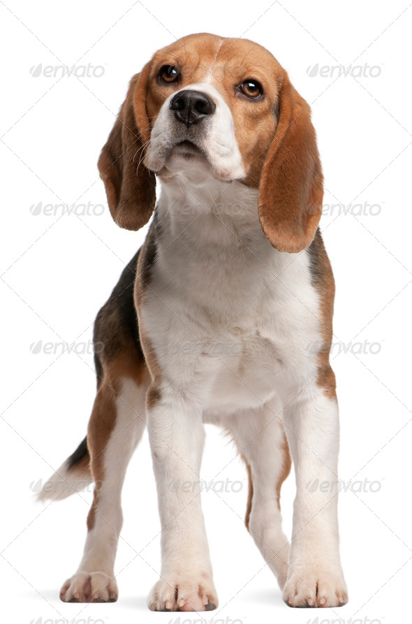 Beagle, 1 year old, standing in front of white background - Stock Photo - Images