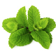 Fresh peppermint isolated on white background. - PhotoDune Item for Sale