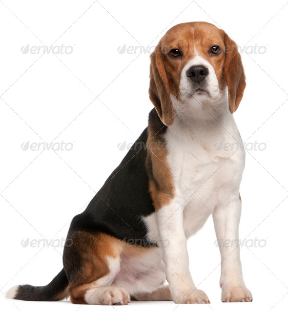 Beagle, 1 year old, sitting in front of white background - Stock Photo - Images