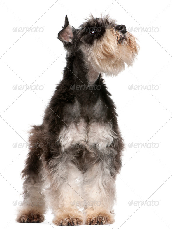 Miniature Schnauzer, 6 years old, looking up in front of white background - Stock Photo - Images