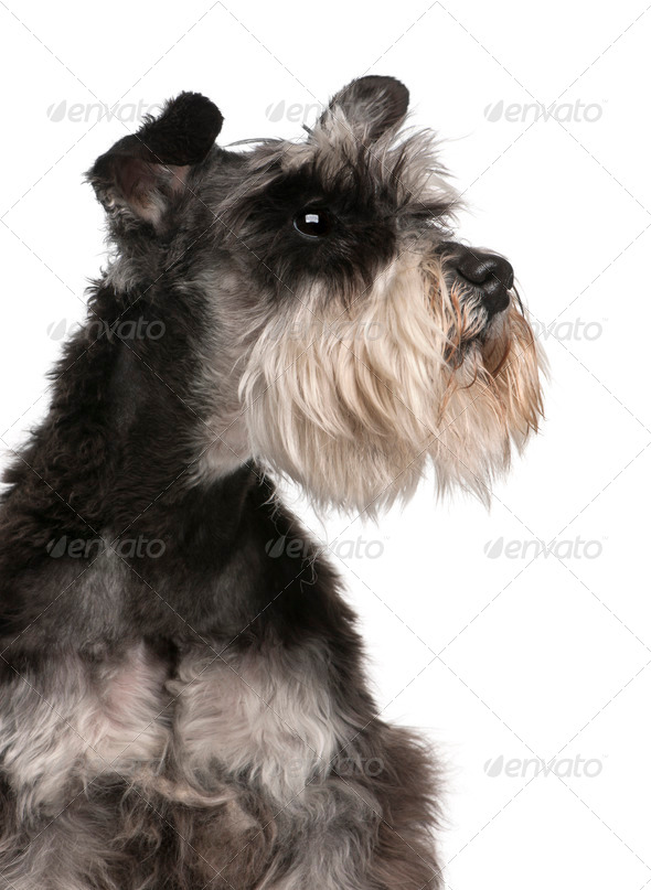 Close-up of Miniature Schnauzer, 6 years old, in front of white background - Stock Photo - Images