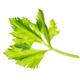 Fresh celery sprig isolated on white background. - PhotoDune Item for Sale