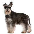 Miniature Schnauzer, 6 years old, standing in front of white background