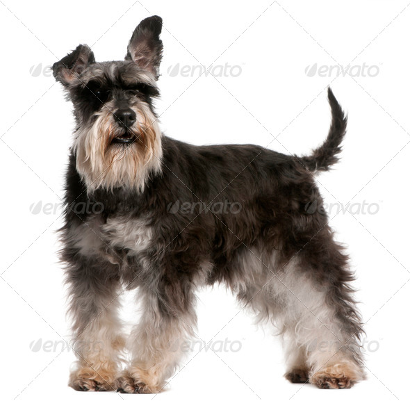 Miniature Schnauzer, 6 years old, standing in front of white background - Stock Photo - Images