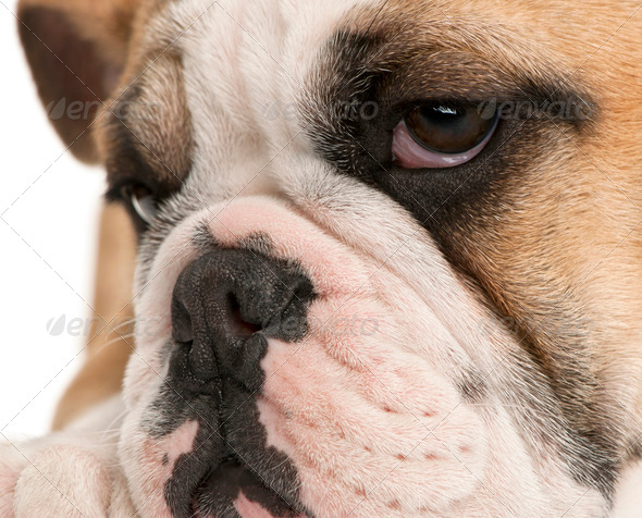 Close-up of English bulldog puppy, 4 months old, in front of white background - Stock Photo - Images