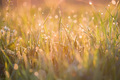 Beautiful background with morning dew on grass close - PhotoDune Item for Sale