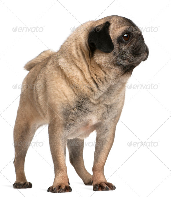 Old pug, 6 years old, standing in front of white background - Stock Photo - Images