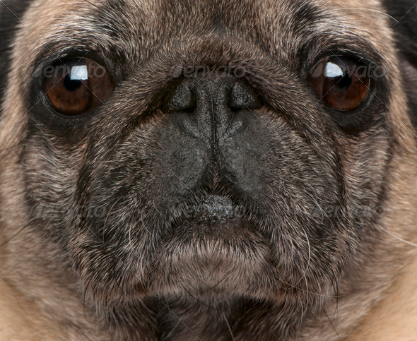 Close-up of old pug, 6 years old - Stock Photo - Images
