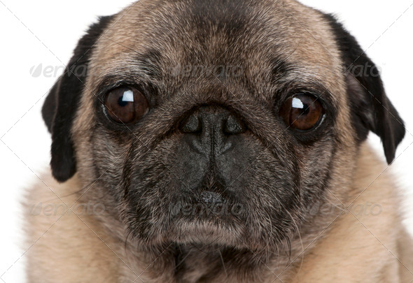 Close-up of old pug, 6 years old, in front of white background - Stock Photo - Images