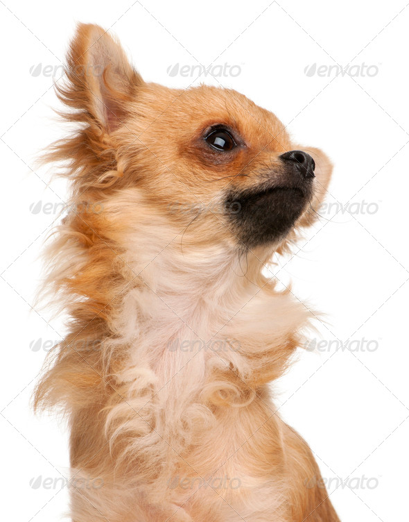 Close-up of Chihuahua in front of white background - Stock Photo - Images