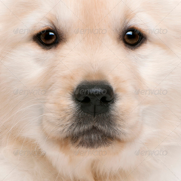 Close-up of Golden Retriever puppy, 20 weeks old - Stock Photo - Images