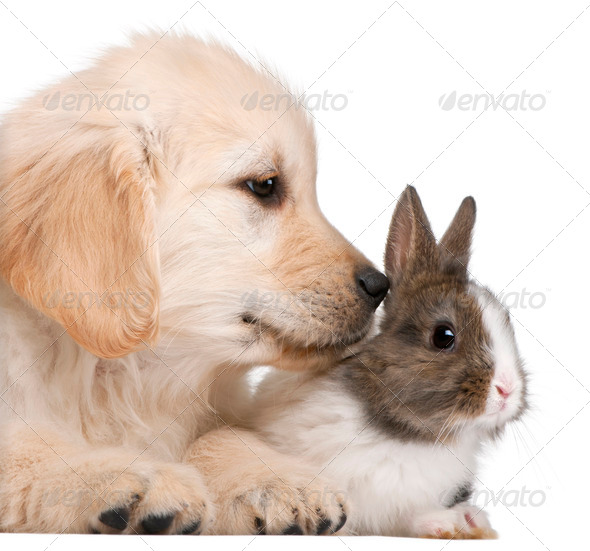 Close-up of Golden Retriever puppy, 20 weeks old, and a rabbit in front of white background - Stock Photo - Images