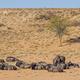 Wildebeest Relaxing in the Kalahari - PhotoDune Item for Sale