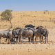 Wildebeest at a Kalahari Waterhole - PhotoDune Item for Sale