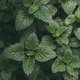 Green foliage, nature background. Mint Plant Grow Background - PhotoDune Item for Sale